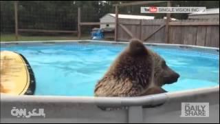 بالفيديو : شاهد دب يستمتع بالسباحة في مسبحه الخاص