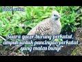 Suara Burung Perkutut Lokal Ampuh Untuk Pancingan Suara Istimewa Burung Perkutut Lokal Gacor  Mp3 - Mp4 Download