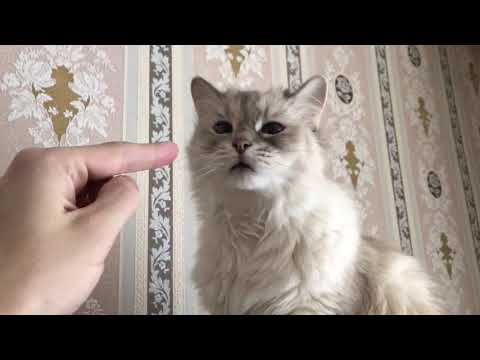 This is Siberian cat!