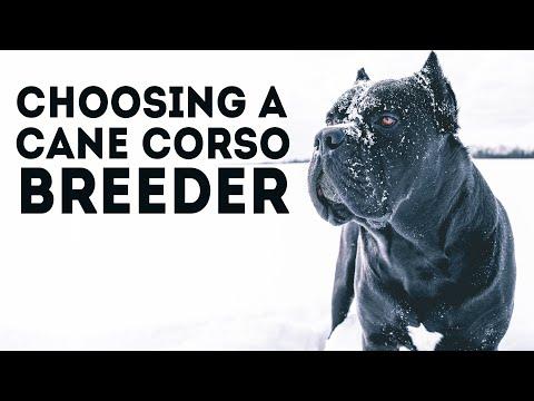 How To Choose a Cane Corso Breeder
