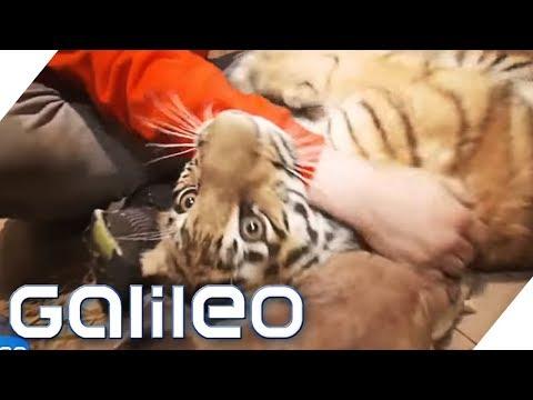 Ein Tiger als