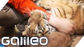 Ein Tiger als Haustier | Galileo | ProSieben