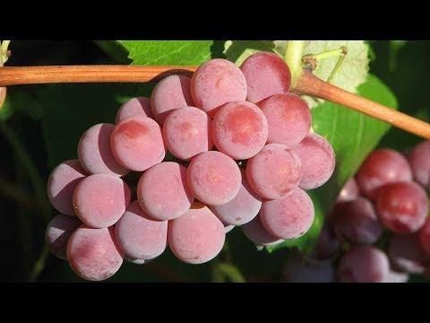 Сорта винограда без косточек. Зимостойкий кишмиш для ваших детей