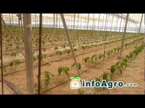 Como germinar las semillas de aj dulce morr n o pimen for Cultivo pimiento huerto urbano