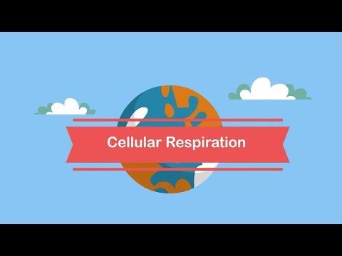 Cellular respiration steps