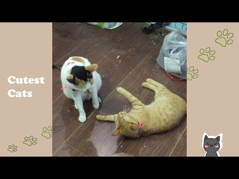 Hilarious Moment Of Funny Cats #Shorts