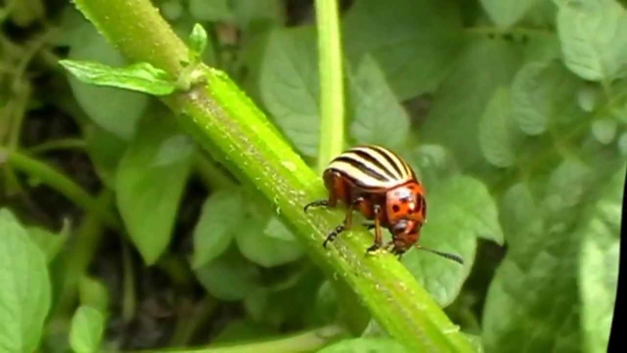 Pirbio koncentrátum rovarok és kártevők ellen