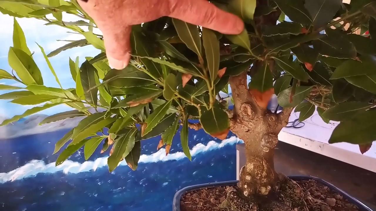 Los laureles 2 parte insecticida eliminar la cochinilla for Eliminar cochinilla algodonosa
