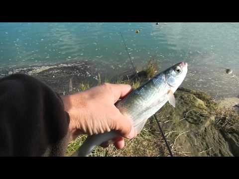 рыба шемая видео