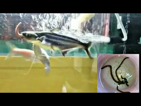 FEEDING MY SHARK WITH MASSIVE EARTHWORM | MUST WATCH BEFORE FEEDING EARTHWORM TO YOUR FISH |