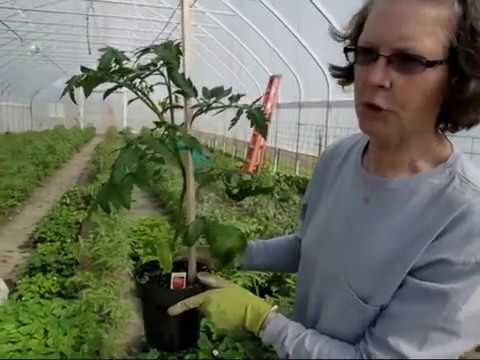 Tomato Plants pruning in indeterminate type tomato to increase production