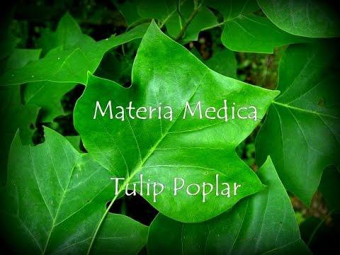 Materia Medica Tulip Poplar 19