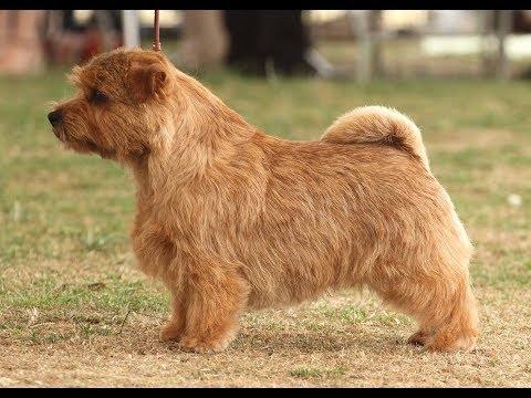 Terrier de Norfolk / Raza de Perro