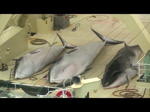 Japan whale hunt killed 122 pregnant minkes