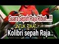 Suara Burung Sepah Raja Ribut Buat Pikat  Mp3 - Mp4 Download
