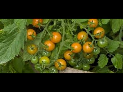 ➪ Natural hybridization of tomatoes - florida everglade an yellow pear tomatoes