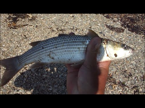 Shore Fishing - Creek Fishing for Grey Mullet