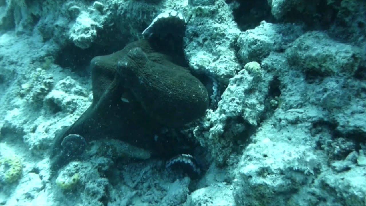 der oktopus