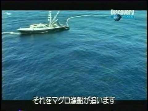 Tuna Boat Kills Many Dolphins