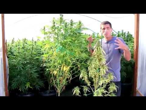 Cannabis Plant Low Water Stress Symptoms