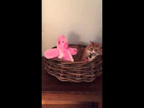 Cat unimpressed with new singing toy