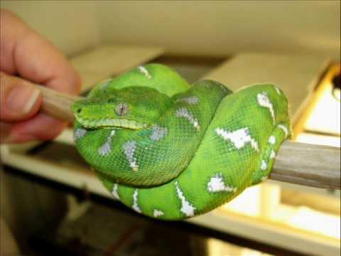 emerald-tree-boa-enclosure,-holding-and-bonus-at-end!