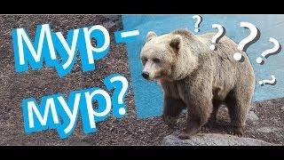 Почему финские медведи МУРЛЫКАЮТ?!