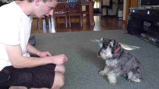 Colin The Miniature Schnauzer -tricks