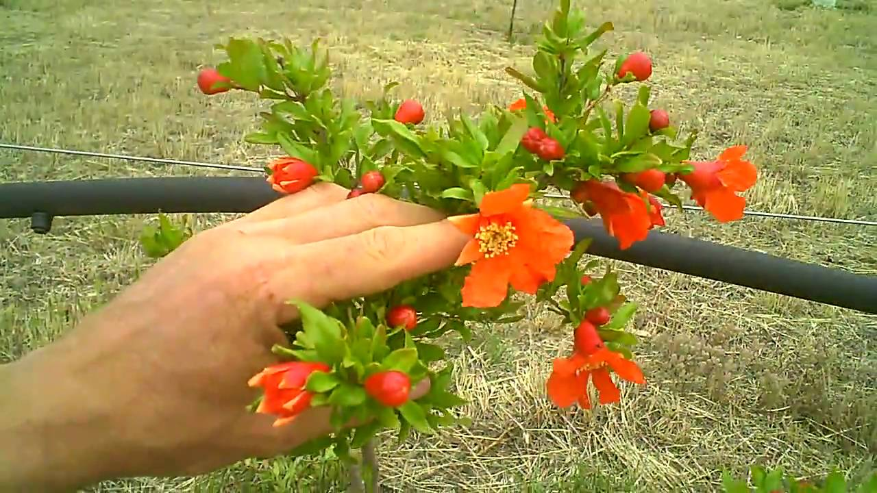 Pomegranates Flowering Www Dynamicpomegranate Com Youtube