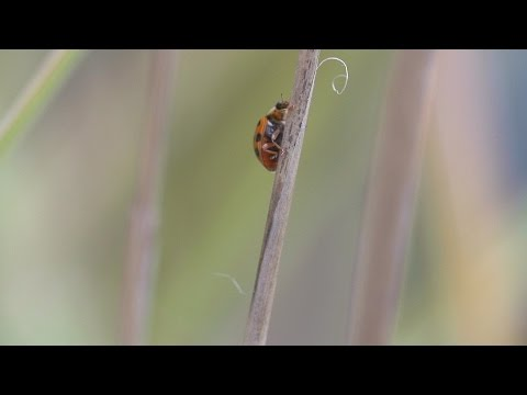 Beachfront B-Roll: Ladybug Climbing (Free to Use HD Stock Video Footage)