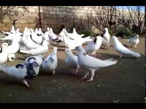 бакинские голуби 05,01,15.