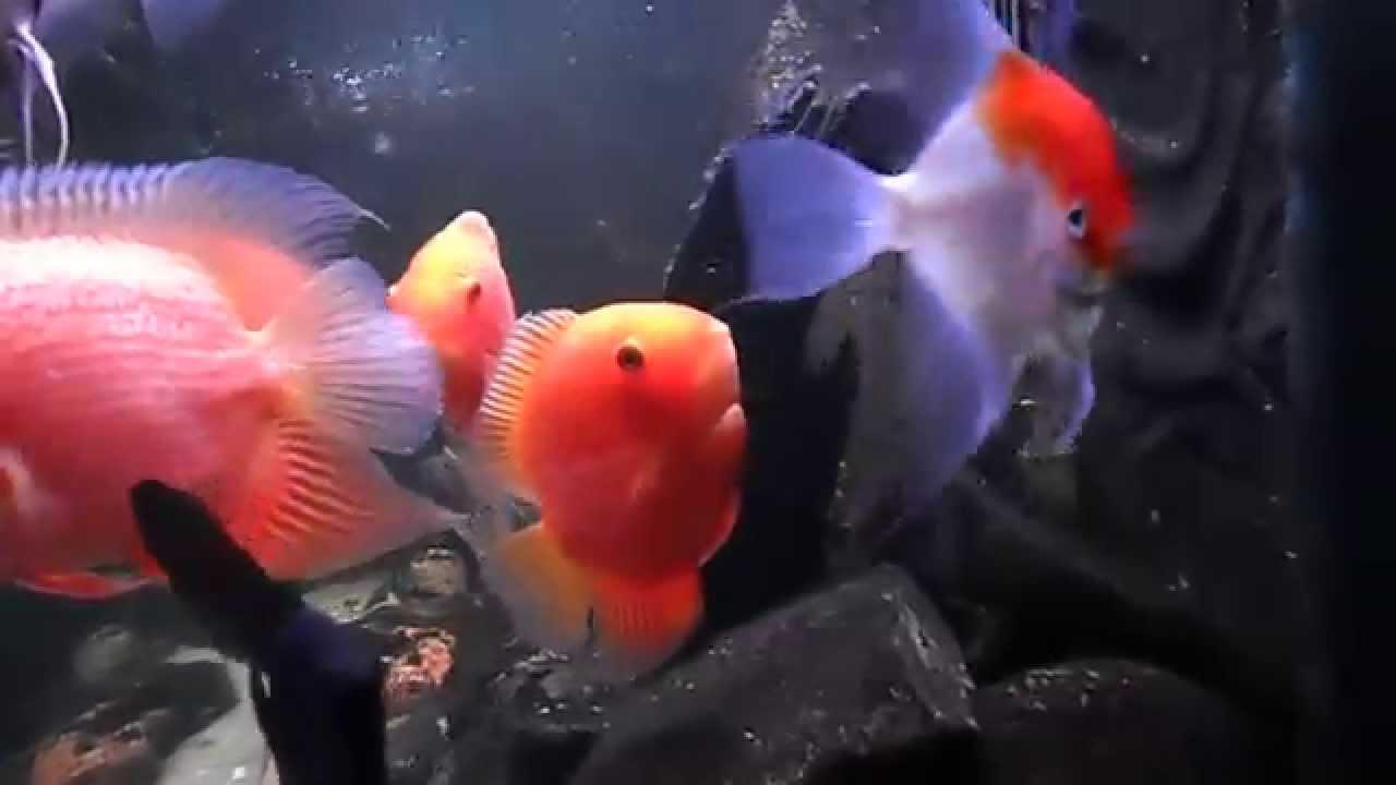 Fish aquarium red spots - Heros Severum Red Spot Pterophyllum Scalare Red Devil