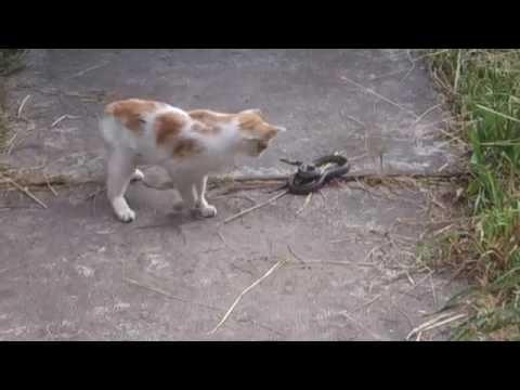 Cat vs Snack fight