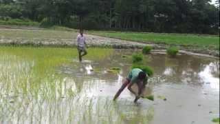 Planting Rice in shommanpur (Bangladesh)