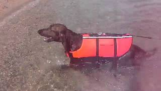 DOG GARDENわんむの看板犬アイリッシュセターのヴィッツが琵琶湖で初め...