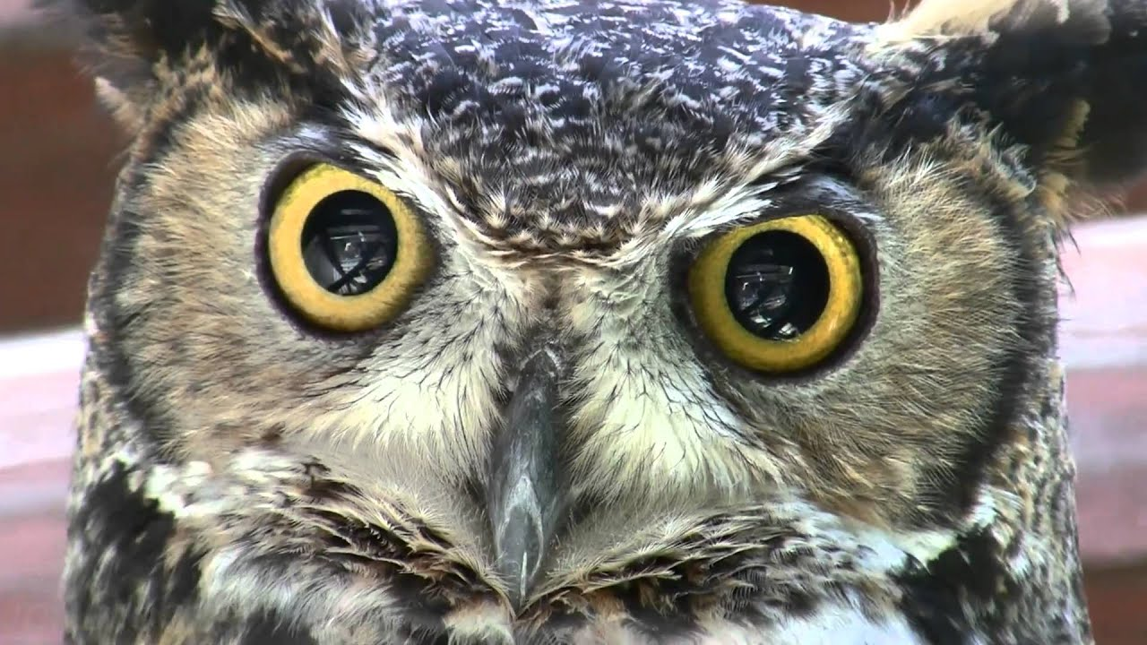 amazing great horned owl super closeup face shot 1080p hd