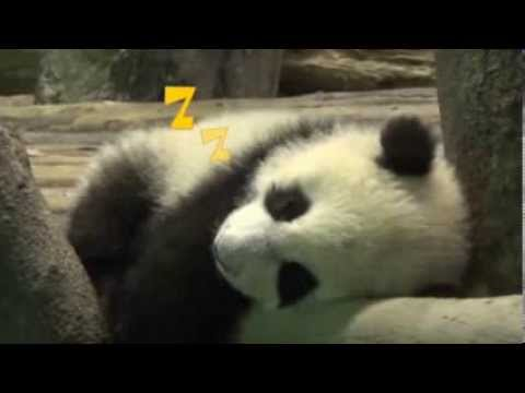 Taipei Zoo's baby panda makes its debut: business opportunity  up to $16 million