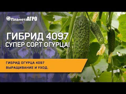 🥒 Гибрид огурца 4097 🌿 Выращивание и уход за гибридом 4097** | Планета Агро