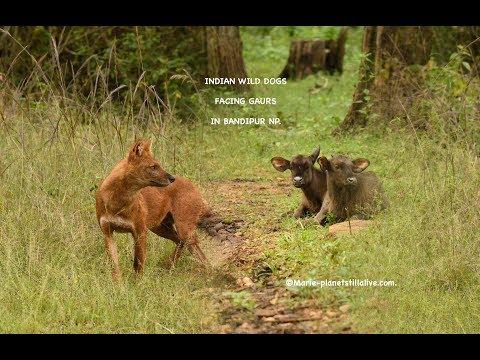Indian Wild Dogs Facing Gaurs