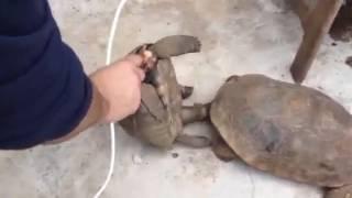 Tortoise making love