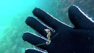 涼しそうな映像はいかが?海藻につかまって漂うタツノオトシゴの赤ちゃん