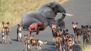 Hyena Were Punished After Stealing Prey From Wild Dogs - Wild Dogs Hunting Newborn Elephant But Fail