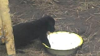 Маленькие Щенки, Аляскинский Хаски