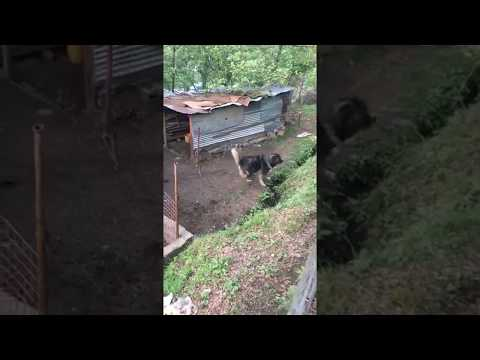 Caucasian Shepherd | Caucasian Ovcharka | Russian Dog | Caucasian Shepherd Dog