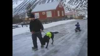 My Labrador Retriever Pulling My Son..mi Labrador Retriever Jalando Mi Hijo