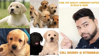 Labrador puppy for sale only 6000 Delhi and India ||9711696640||