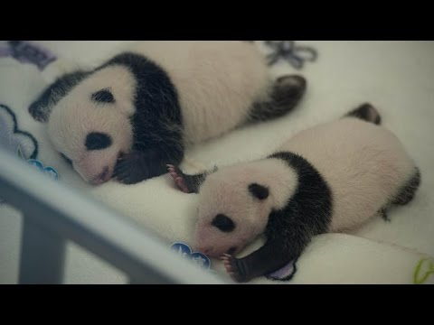 Adorable: Twin panda cubs born in Macao turn 6 months old