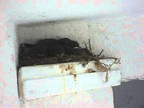 Fünf kleine Hausrotschwänze im Nest