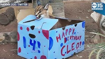 BIRTHDAY PARTY! Cleo the desert lynx turns 14 at Phoenix Zoo - ABC15 Digital