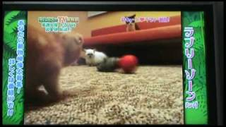 Cute Scottish Fold Munchkin Kittens! Funny pet videos on crazy Japanese TV game show